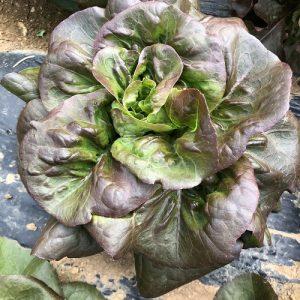 Rougette - Au fil des saveurs producteurs fruits légumes